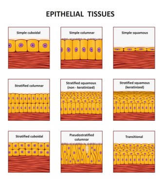 Different types of epithelial tissue collection.
