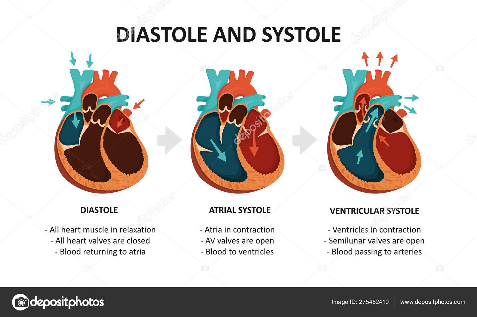 Diastole And Systole. Cardiac cycle — Stock Vector ...