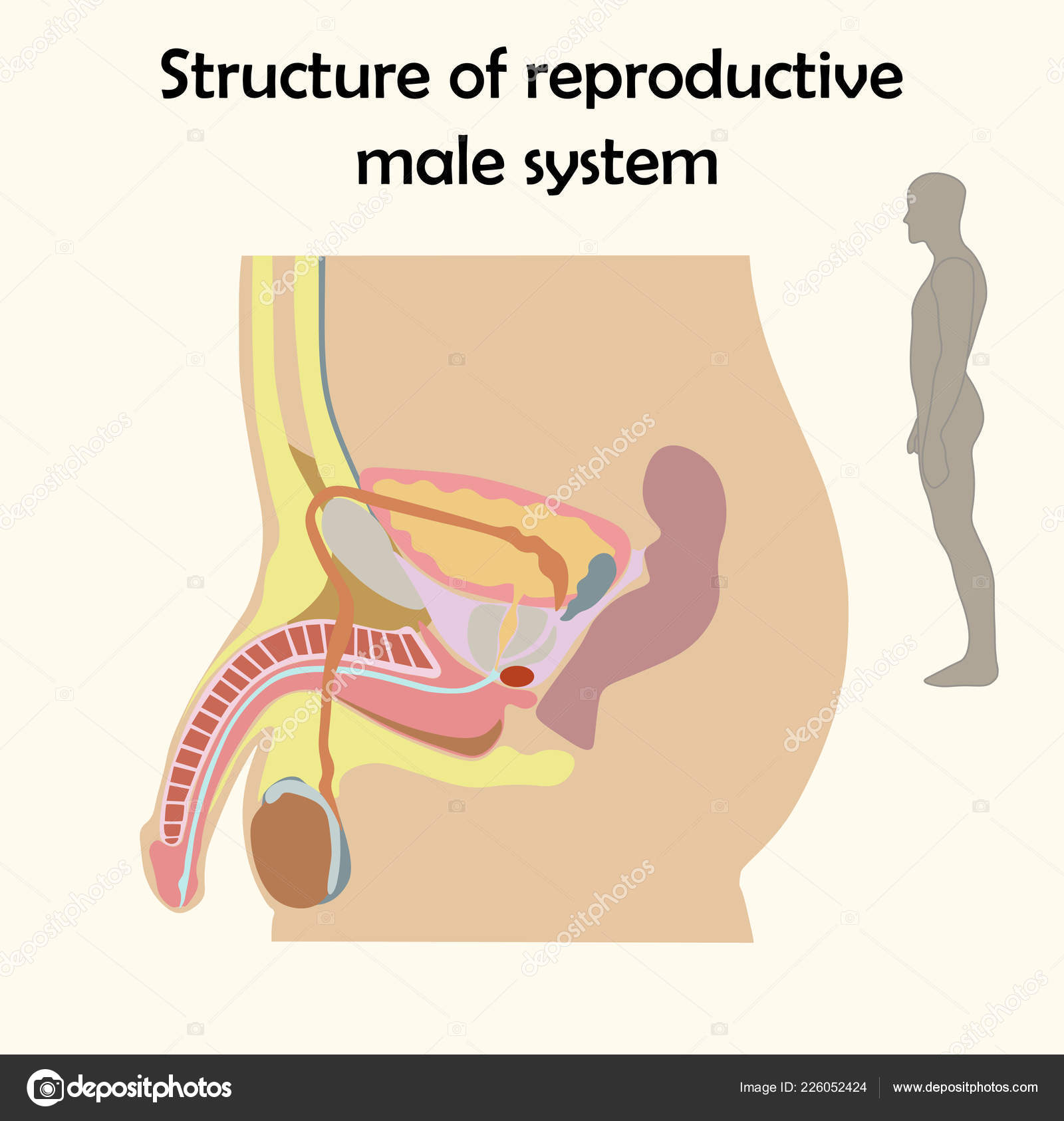 Education Chart of Biology for Male Reproductive System ... on nervous system diagram, circulatory system diagram, the endocrine system diagram, bull reproductive tract diagram, male digestive tract diagram, musculoskeletal system diagram, immune system diagram, cardiovascular system diagram, spermatogenesis diagram, pituitary system diagram, male reproductive function, skeletal system diagram, male skeletal system human skeleton, digestive system diagram, heart diagram, respiratory system diagram,