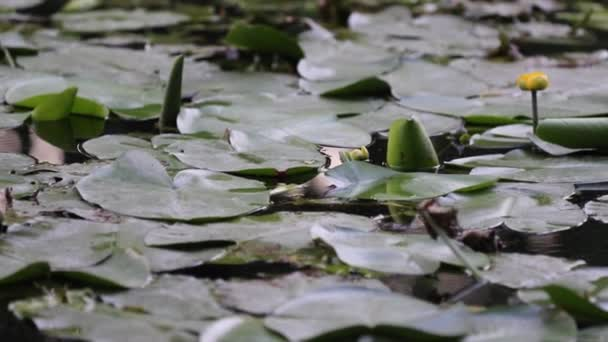 okapy a květy nuferu na vodě