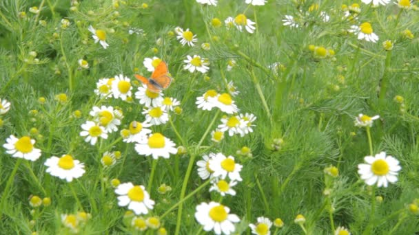 Chamomile flowers and an orange color butterfly sitting on and collecting pollens in sunny and windy day.