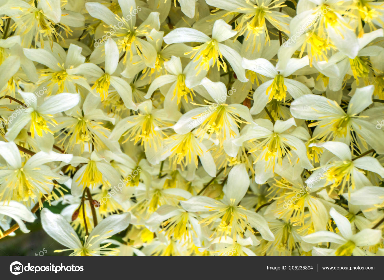 Many Flowers White Yellow California Fawn Lily Close Stock Photo