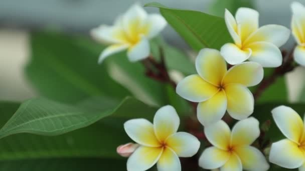 Plumeria frangipani flowers with white and yellow petals, panning panoramic high definition stock footage video clip.