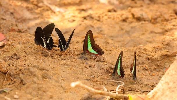 Motýl otakárek vrhajících papilio troilus a společné Masařka graphium sarpedon luctatius z čeledi otakárkovitých, pitná voda z písečné nábřeží, vysokým rozlišením stopáže klip