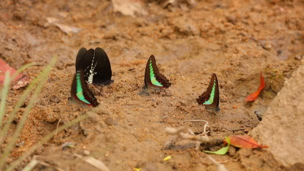 Butterfly spicebush swallowtail papilio troilus and common bluebottle graphium sarpedon luctatius from the papilionidae family, drinking water from the sandy riverbank, high definition stock footage clip.