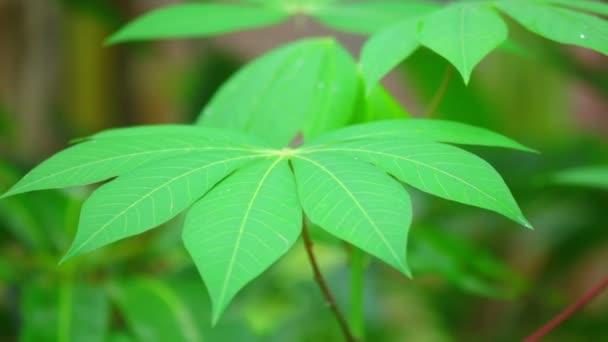 Kasava, zeleniny listy s jejich zářivé zelené listy a červené stonky, zblízka střílel posouvání kamery s pozadím bokeh