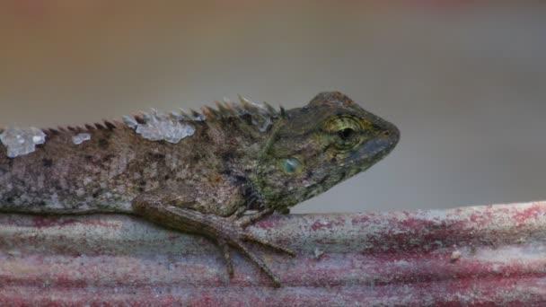 Orientální zahrady ještěrka nebo zahradní ještěrka, agamid ještěrka, Agamovití rodina označovány také jako draci nebo dračí ještěrky. Vyhřívají na slunci na květináč, hd statický záběr zblízka.