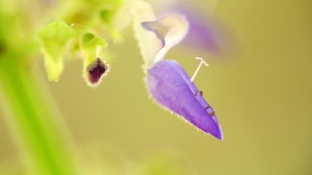 Fialová Coleus květy jemné a drobné makro detailní s pozadím bokeh. Osvětlené sunny podsvícení s přírodními barvami, statický záběr makro zblízka.