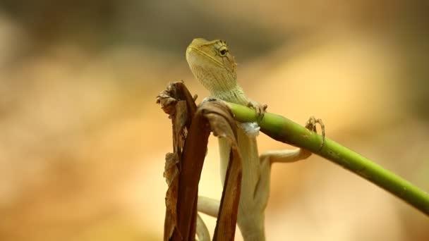 Orientální zahradní ještěrka nebo zahradní ještěrka, hbitý ještěr, Agamidae rodina je také znám jako draci nebo dračí ještěrky. Na výstřelu na mrtvému zařízení se v blízkosti nachází statická střela. Bokeh přírodní pozadí v přírodě.