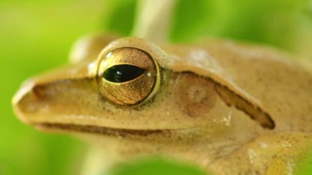 Tree frog head and eye macro close up static shot, sat amongst green foliage with bokeh background. Golden tree frog, amphibian animal.