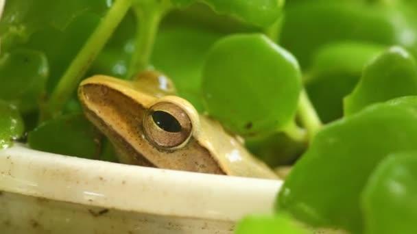 Levelibéka fej és a szem makró közelről statikus lövés, ült egy növény pot között zöld lombozat a bokeh háttérben. Aranyfa béka, kétéltű állat.