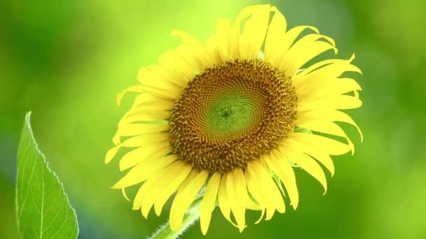 Jedna jediná slunečnicová hlava zblízka celý rám, fouká ve větru, jasné venkovní letní přírodní scenérie v zářivé žluté a zelené.