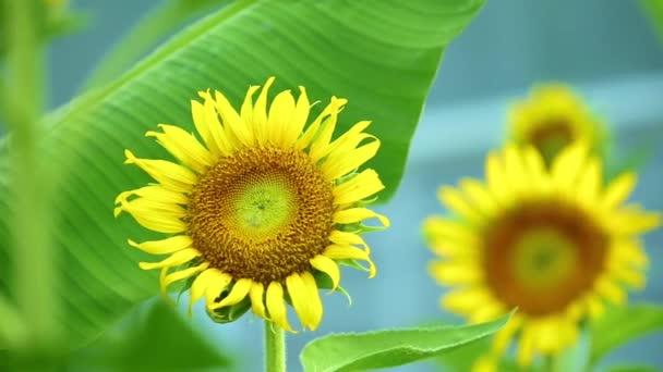 Žluté slunečnice vanoucí ve větru s pulzujícím zeleným listím, tropická vietnamská venkovní plantáž scéna.