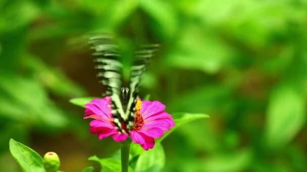 Hmyzí motýl živící se růžovým květem se zeleným olistěním. Vápník vlaštovka zblízka hmyz krmení záběry s jasnými zářivými barvami.