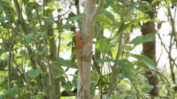 Orange lizard on the tree finds insects to eat, national park Chitwan in  Nepal