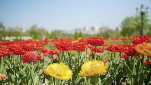 Virágok piros és sárga tulipán virágzás tulipán területen, sprind nappali