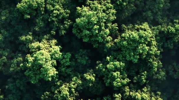Aerial view camera moves rising up from green forest of dense mixed tree tops of pine trees and birches