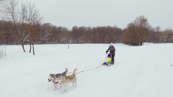 Husky běh v zimě v postroji sněhem a drive žena na saních za ním