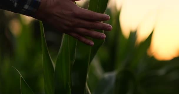 Landwirt untersucht Maispflanzen im Sonnenuntergang. Nahaufnahme von Hand, die Maisblatt im Feld berührt