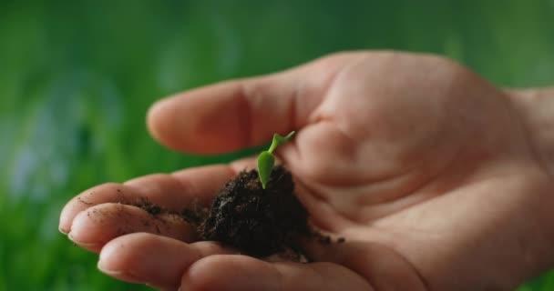 Ruce držící stromek bazalky s krásným západem slunce, koncepcí nového růstu a udržitelného zemědělství, zdravím životního prostředí, péčí o mateřskou zemi