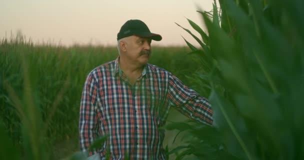 Farmář na kukuřičném poli trhá kukuřici. Starší muž v slamáku kráčí po kukuřičném poli