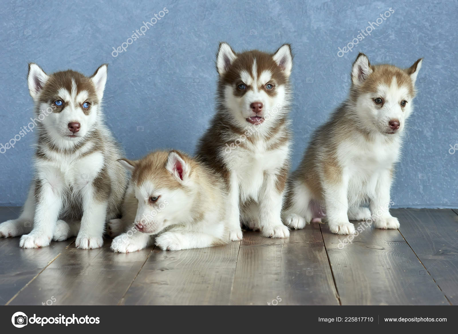 Four Blue Eyed Copper Light Red Husky Puppies Wooden Floor Stock Photo C Anniezhak 225817710