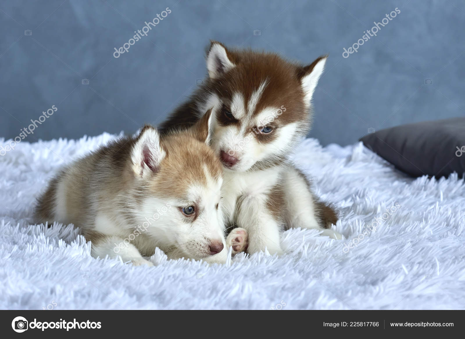 Two Blue Eyed Copper Light Red Husky Puppies Lying White Stock Photo C Anniezhak 225817766