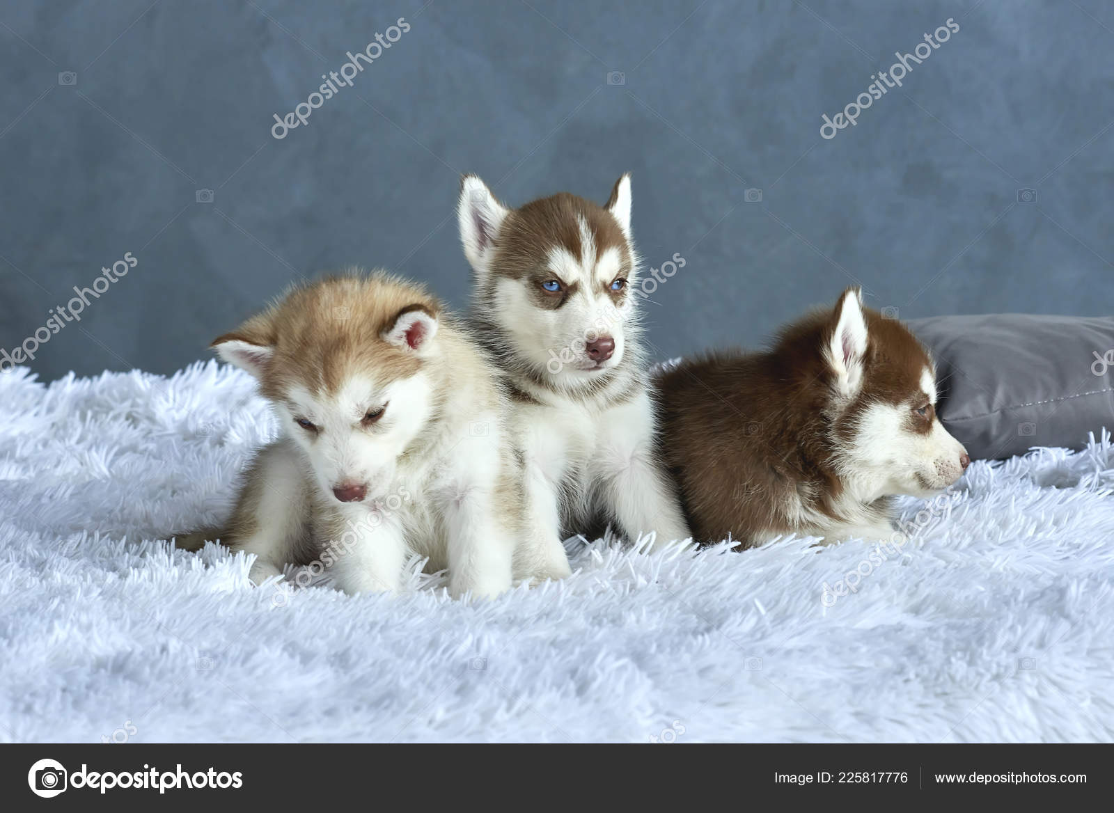 Three Blue Eyed Copper Light Red Husky Puppies Lying White Stock Photo C Anniezhak 225817776