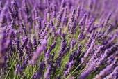 Lila levendula mező Provence-ban. Lavanda officinalis