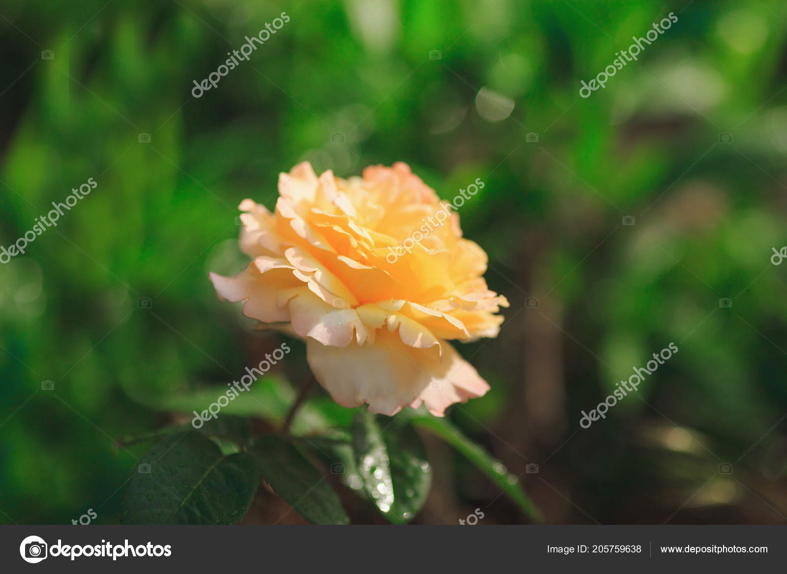 Blooming Yellow Rose Flower Photographie Batechenkofff C 205759638