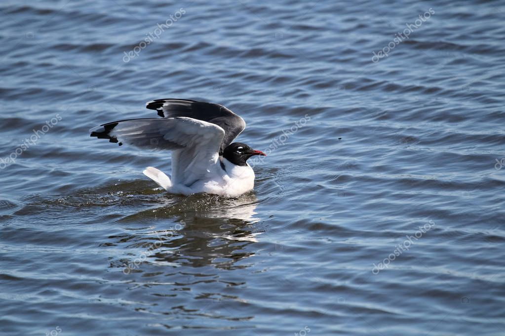 A Franklins Gull stretching its wings while on water