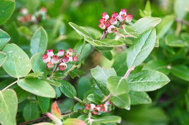 Unripe wild blueberries on a bush in the forest