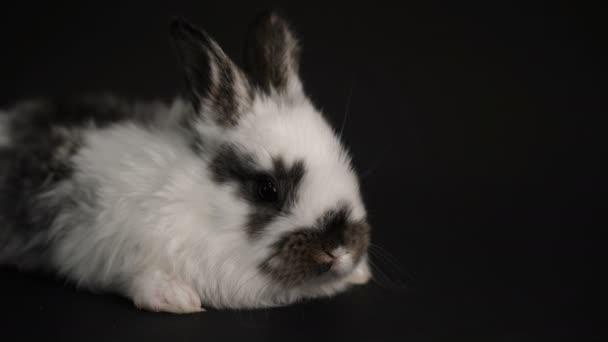 králík nebo zajíčka na černém pozadí