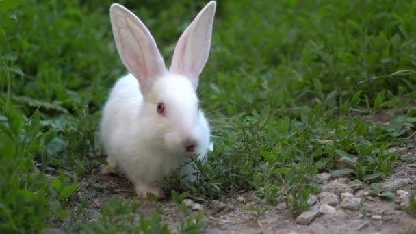 Srandovní Bílý králík jíst zelenou trávu