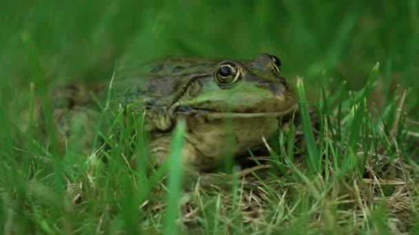 pomalu Velká Žabička v přírodě