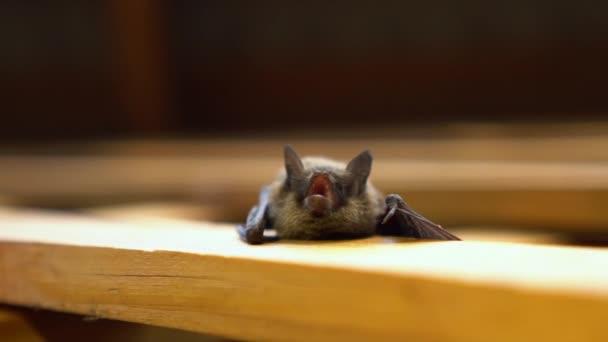 Kleine Fledermaus zeigt Zähne.