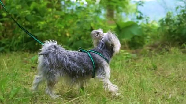Yorkshirský pes chůze po trávě