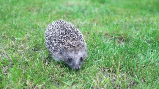 Slowly Hedgehog runs on the green grass on Sunny Day.