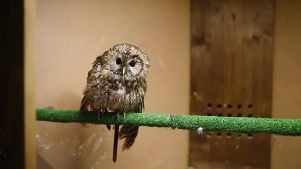 Puštík bliká a točení hlavy. Kontaktní zoo. Birding volně žijících ptáků v zajetí.