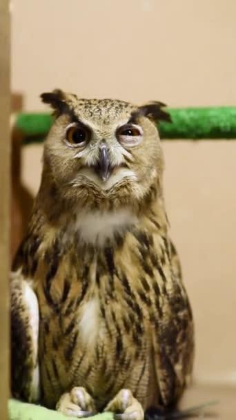 Fülesbagoly közelről. Forduljon állatkert. Madarászat, a vadon élő madarak fogságban.