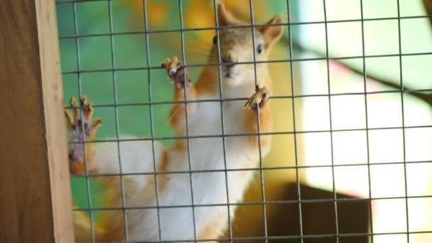 Eichhörnchen im Käfig im Streichelzoo