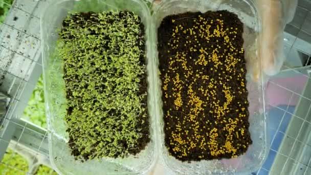 Ein Mädchen gießt mikro-grüne Sprossen aus nächster Nähe in einem modernen Gewächshaus. Gesunde Ernährung
