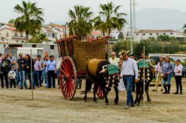 ALMAYATE, SPAIN - APRIL 21, 2018 Traditional Andalusian contest based on the presentation of the ability to drive oxen with a cart, professional work of carters with oxen, event