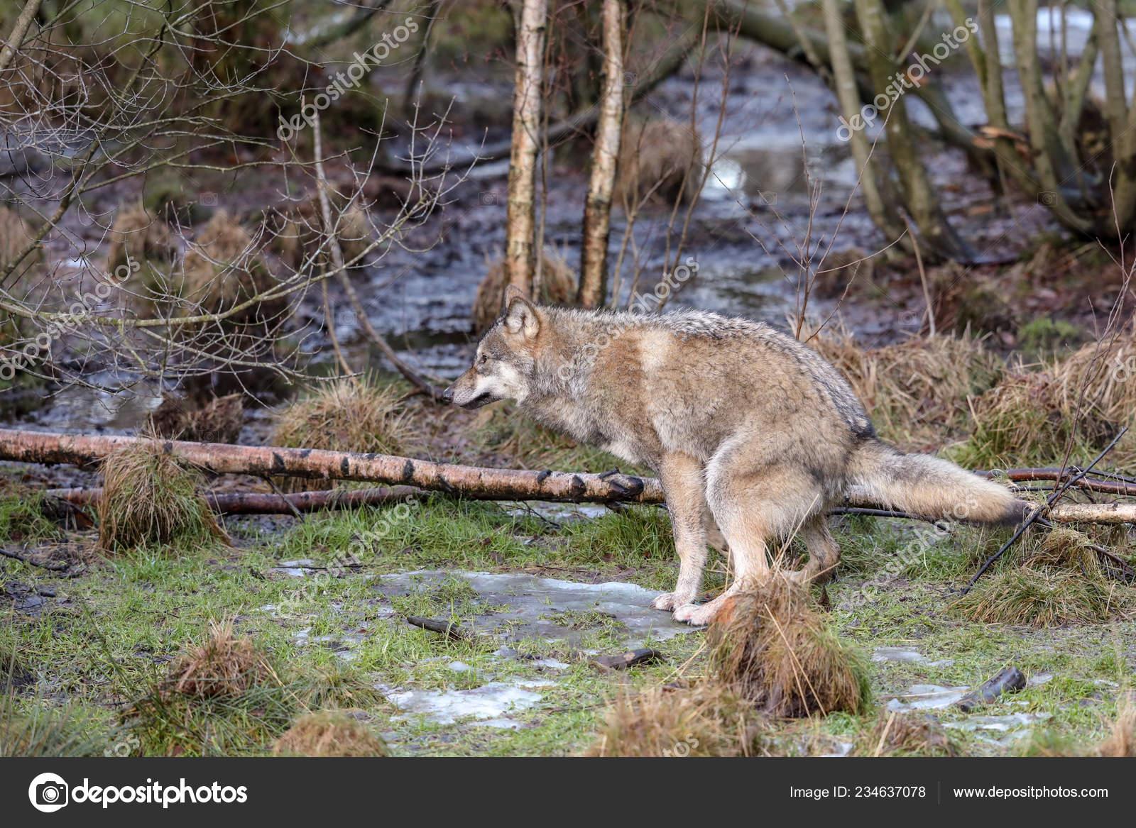Pic of deer poop | Grey wolf, Canis lupus, defecating in the
