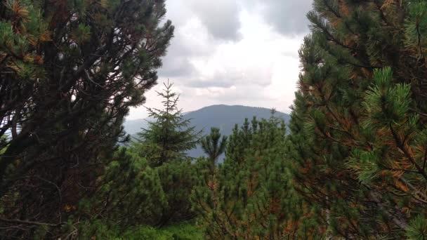 Mírný vítr posouvá stromy Juniper stezka v horách pěší túry přes karpathské pohoří nedaleko vesnice LUGI