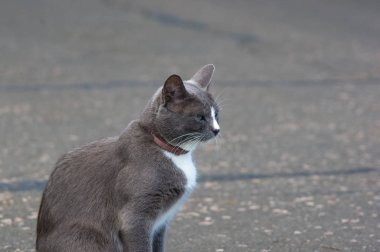 two-tone cat in anti-flea collar on the path of the city Park