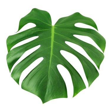 """Картина, постер, плакат, фотообои """"monstera большой лист изолирован. зеленые джунгли листья уникального дизайна на белом фоне, с вырезанной дорожкой ."""", артикул 209621670"""