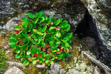 Green and red leaves of bergenia crassifolia close up. Amazing plant grows on rock with copy space. Rich vegetation of highlands. Mountain flora. Detailed natural background. Wonderful nature.