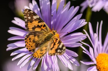 Butterfly vanessa cardui collects nectar from purple flowers asters