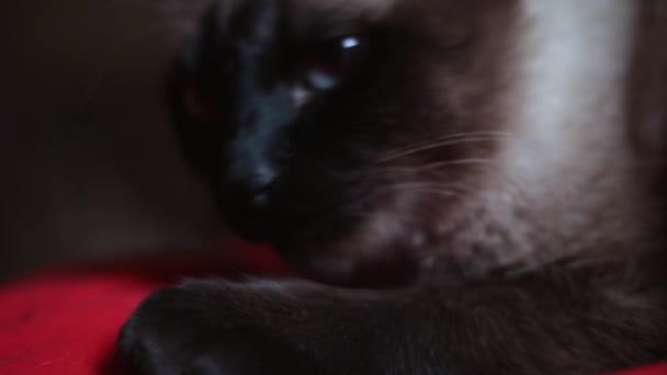 große traurige alte thailändische Katze mit blauen Augen, die bei Tageslicht auf dem roten Bett liegt. Nahaufnahme trauriger kranker Katze, die zu Hause liegt
